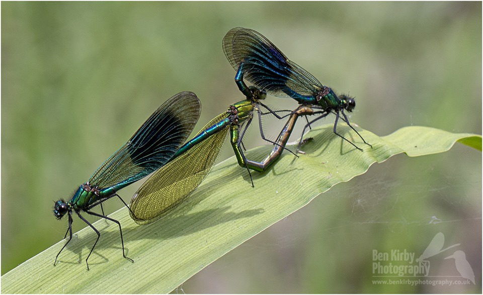 Mating Pair Of Banded Demoiselles (BKPDEMO0002)
