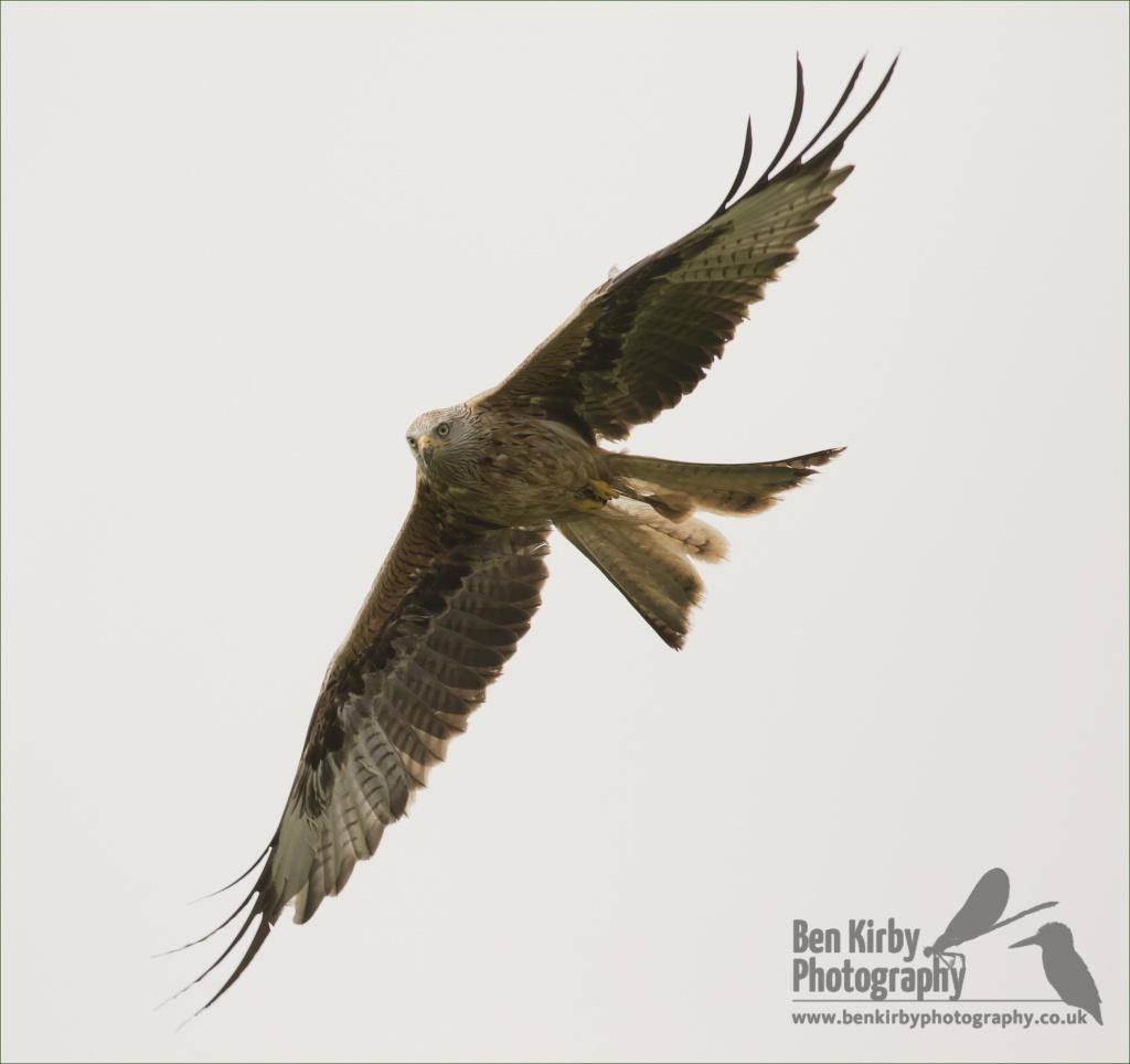 Red Kite (BKPBIRD0012)