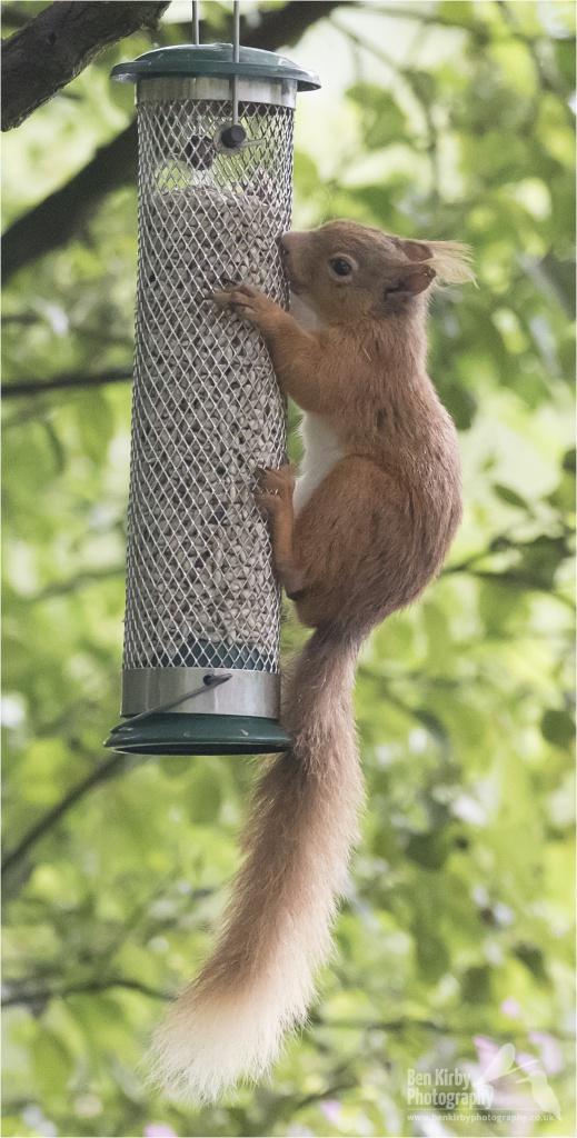 Red Squirrel (BKPMAMM0005)