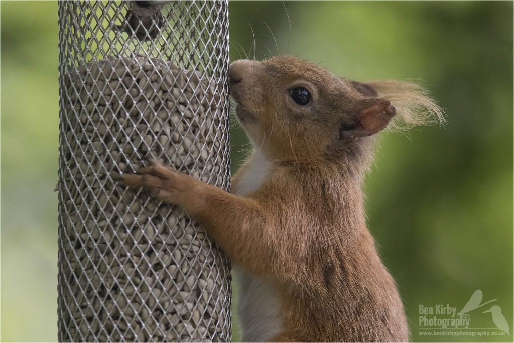 Red Squirrel (Close Up) (BKPMAMM0004)
