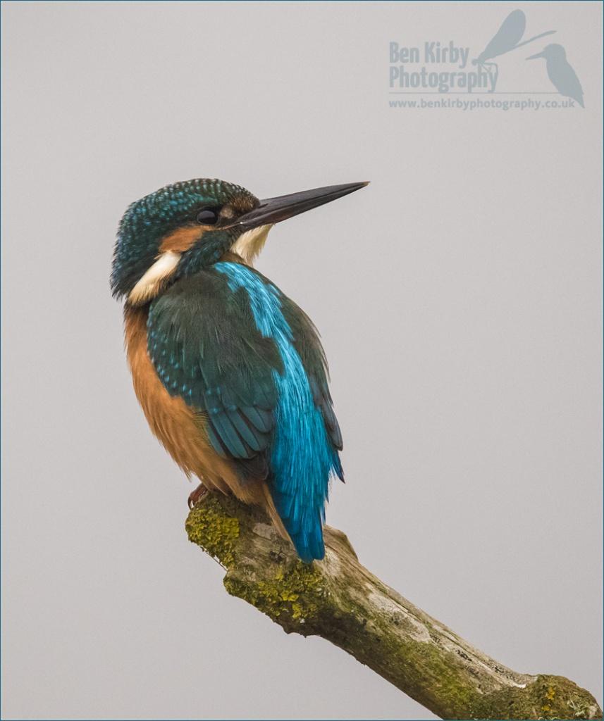 Male Kingfisher - Stodmarsh Nature Reserve - December 2019 (BKPBIRD00017)
