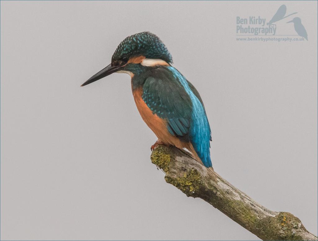 Male Kingfisher - Stodmarsh Nature Reserve - December 2019 (BKPBIRD00015)