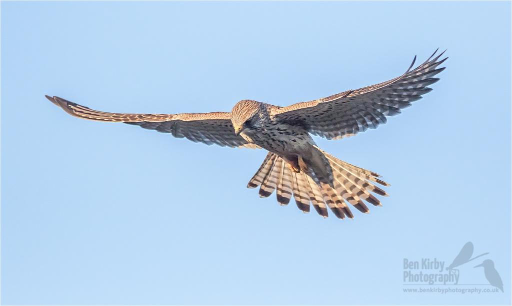 Kestrel in flight - Elmley Nature Reserve - December 2019 (BKPBIRD00025)