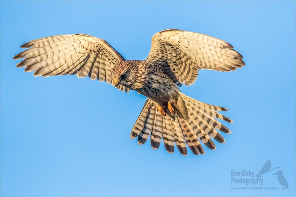 Kestrel in flight - Elmley Nature Reserve - December 2019 (BKPBIRD00026)