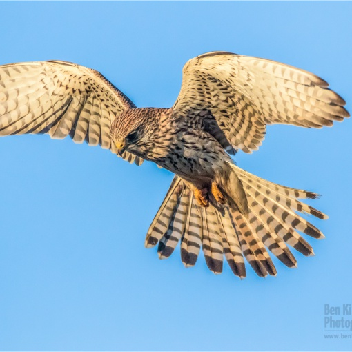 Kestrel in flight - Elmley Nature Reserve - December 2019 (BKPBIRD00026)