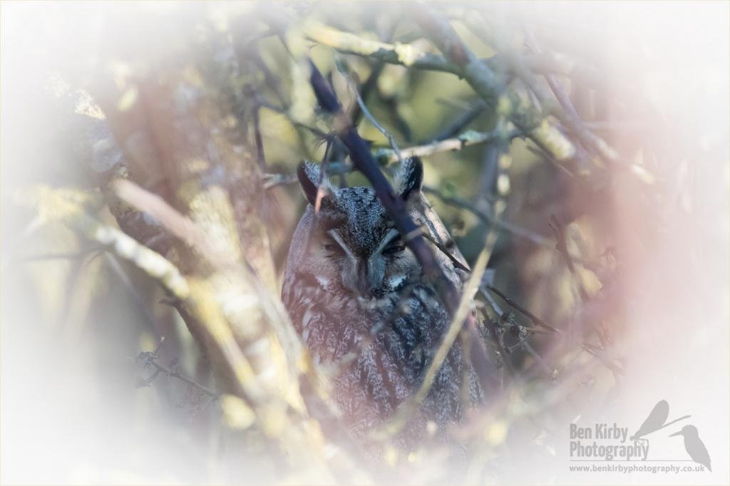 Long Eared Owl - Elmley Nature Reserve (BKPBIRD00019)
