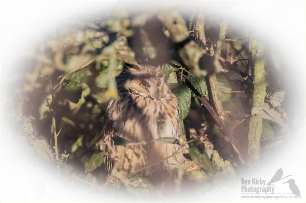 Long Eared Owl - Elmley Nature Reserve (BKPBIRD00020)