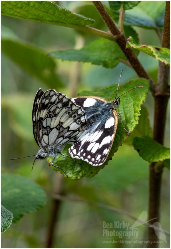 Mating pair of Marbled White butterflies (BKPBUTT0010)