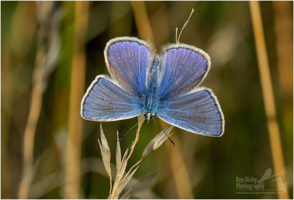 Male Common Blue Butterfly (BKPBUTT0013)