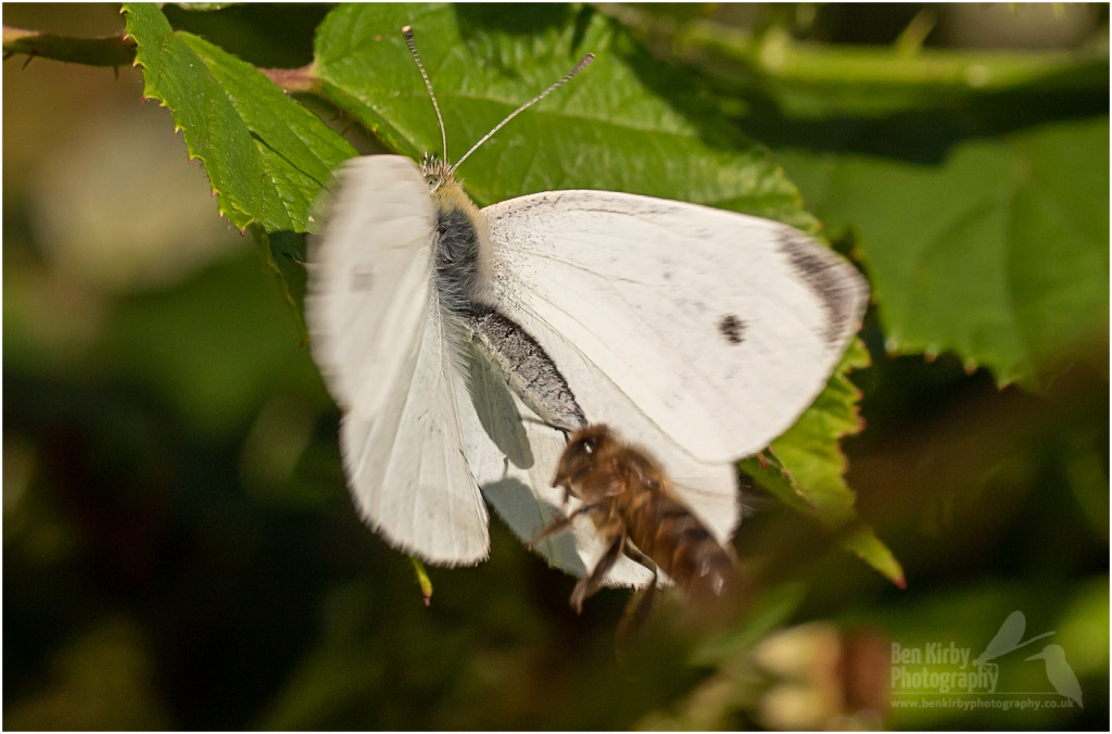 Small White Butterfly with Bee landing on it (BKPBUTT0014)