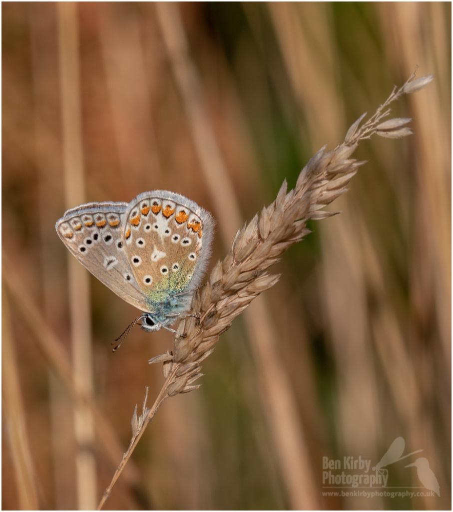 Underside of a Common Blue Butterfly (BKPBUTT0015)