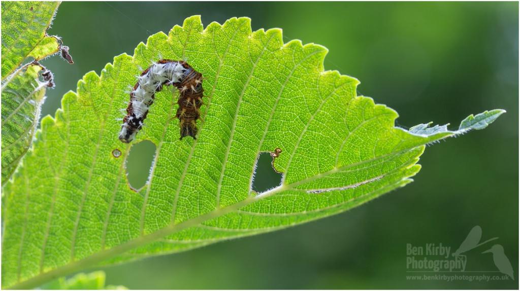 Comma Butterfly Larvae On Elm (BKPBUTT0018)
