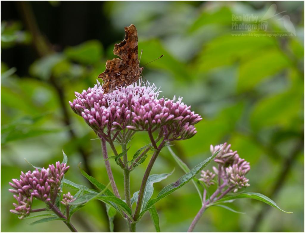 Comma Butterfly on Hemp Agrimony (BKPBUTT0017)