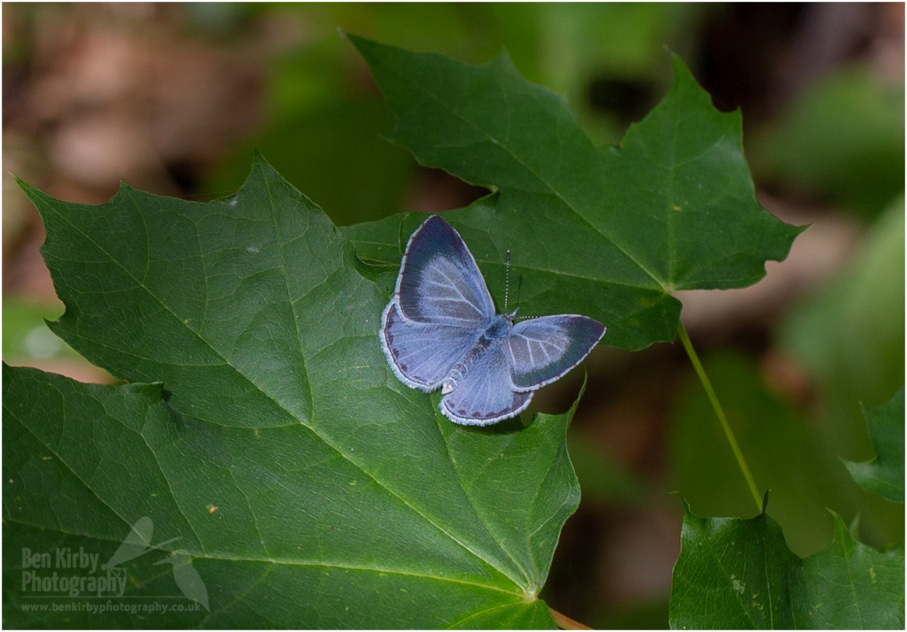 Female Holly Blue Butterfly (BKPBUTT0016)