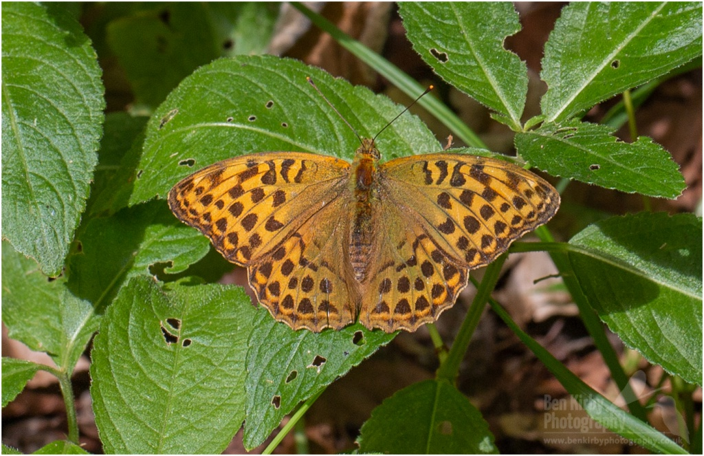 Female Silver-Washed Fritillary Butterfly (BKPBUTT0019)