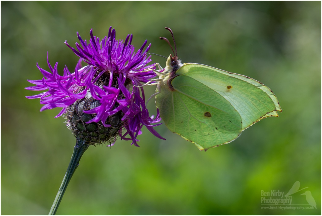 Brimstone butterfly on Scabious (BKPBUTT0021)